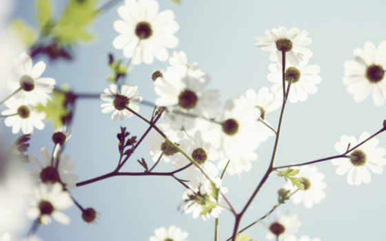 небо, цветы, iphone, white, картинка, flowers, ромашки,