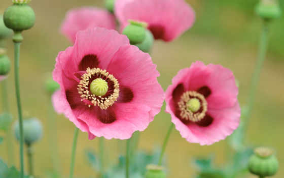 mac, poppy, розовый, маки, розовые,