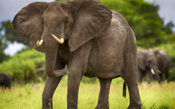 африка, far, cry, новости, слонов, everything, слон, мар, ветеринарный, вольер,