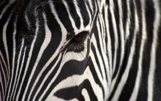 zebra, чёрно, зебры, apple, streaks, белое, животных, зебр, iphone,