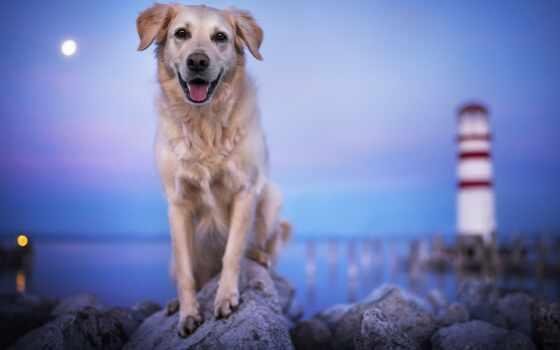themebe, тема, окно, собака, золотистый, retriever, prompt, писатель, картинка