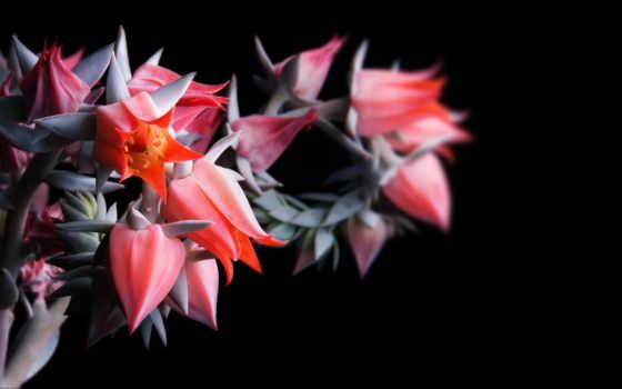 цветы, fone, черном,