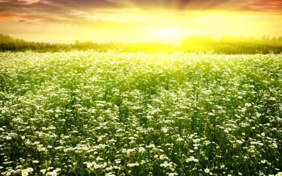 ромашки, поле, цветение