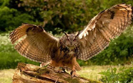 сова, орлан, eurasian, птицы, совообразные, wings, bubo, изображение, birds,