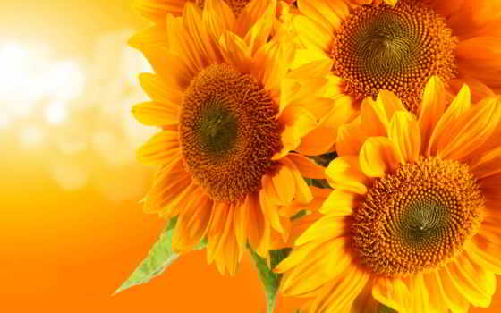 подсолнухи, картинка, цветы, рисунок, блики, оранжевый, corn, еда, тыква,