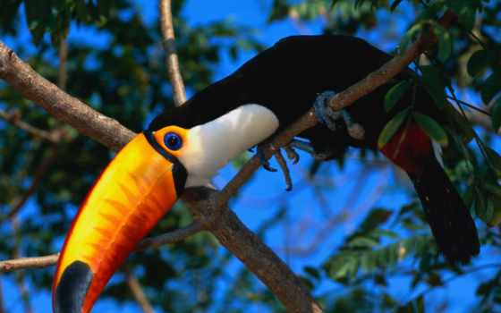 toucan, lat, ramphastos, туканы, птица, считается, клюв, самым, южной, обитает, америке,