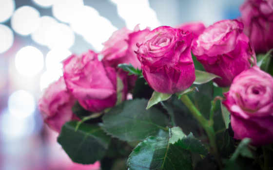 розы, розовые, cvety, боке,