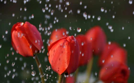 тюльпаны, дождь, красные, капли, cvety, бутоны, water, букет, розы, под, белые,