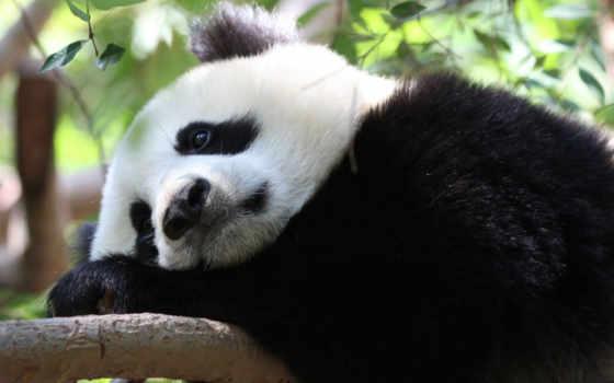 панда, zhivotnye, грустная