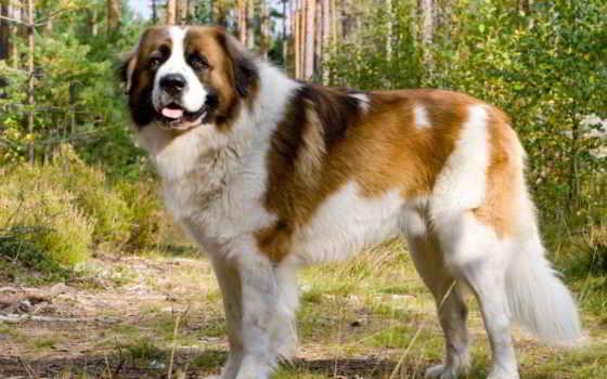 московская, сторожевая, собака