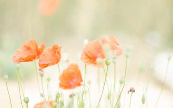 summer, природа, маки, поле, свет,