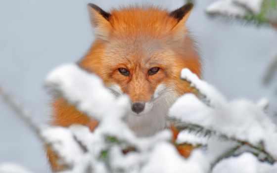 фокс, снег, browse, прогулка, страница, winter, hunting, морда, природа,