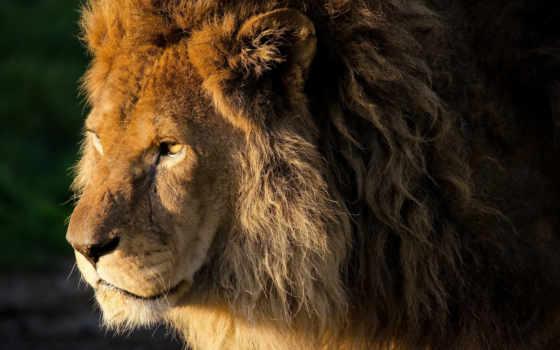 lion, zhivotnye, морда, грива, красивые, кудри, львы, full, лео, телефон,