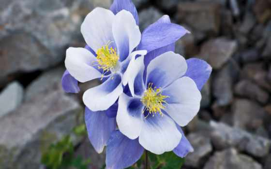 аквилегия, цветы, нежность