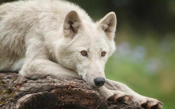 волк, лежит, white