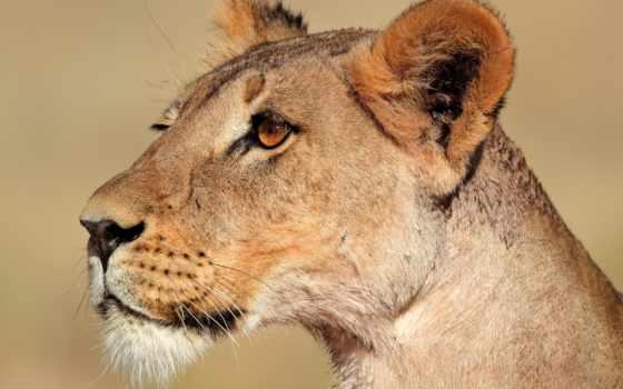 львица, lion, profile