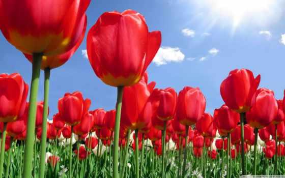 тюльпан, символы, тигр, турции, тюльпаны, национальные,