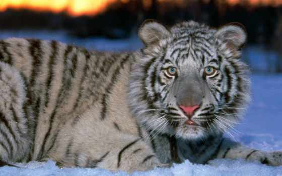 тигр, белый, снегу, тигры, снег,