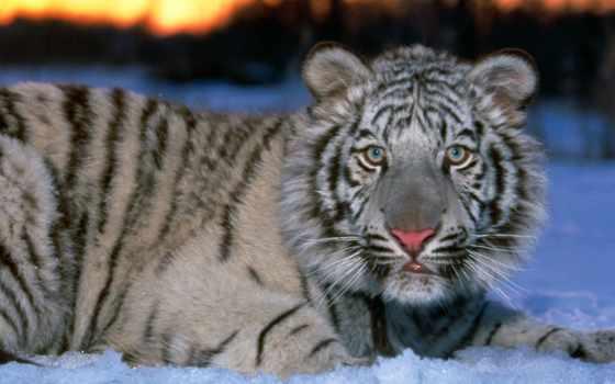 тигр, белый, снегу