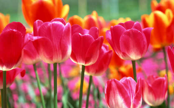 марта, тюльпаны, cvety