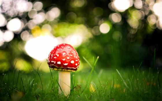 природа, pantalla, naturaleza, hongos, fondos, descargar, грибы, трава, escritorio, картинка, papel,