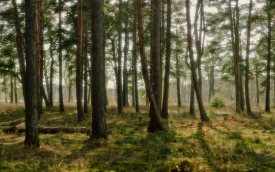 лес, природа, trees, финляндия, pine, свет, лесу, full,
