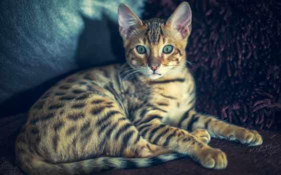 бенгальский, кот, взгляд,