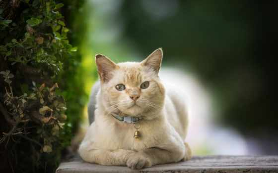 ошейник, кошки, кот, лапы, плавники, копыта, крылья, за, bell,