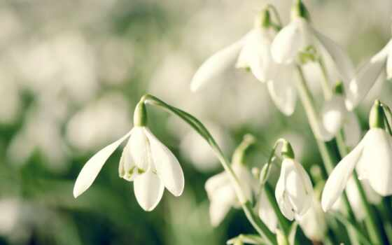 подснежники, весна, cvety,
