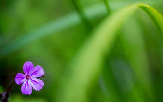 cvety, blumen, periwinkle, fleur, lotus