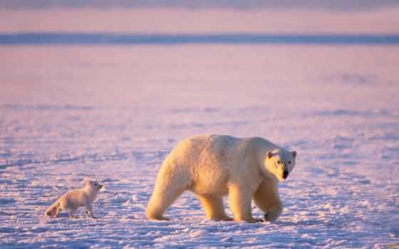медведь, белый, животные