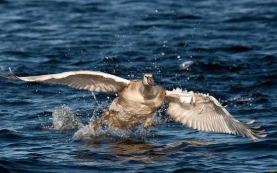 лебеди, озеро, утренней, ducks, water, славы,