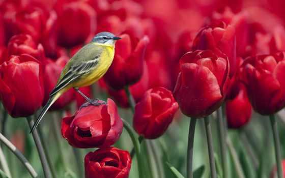 тюльпаны, красные, цветы Фон № 81409 разрешение 1920x1080