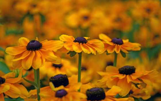 цветы, макро, рудбекия,