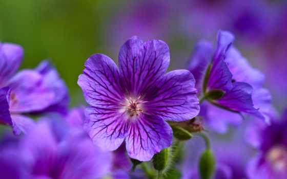 цветы, фиолетовые, макро, бесплатные, фиалки, природа,