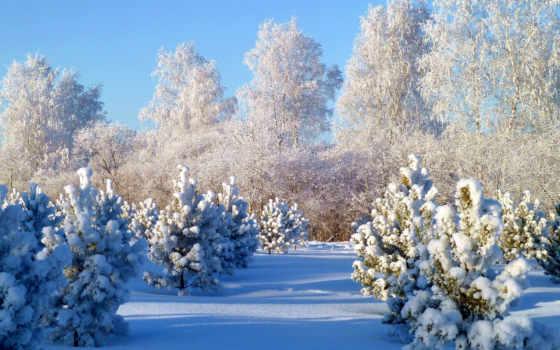 winter, снег, природа, time, года, картинка, сосенок, молодых, посадки,