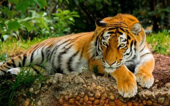 тигр, картинка, заставки, природа, tigre, art, хищник, взгляд, отдых, поза, кот,