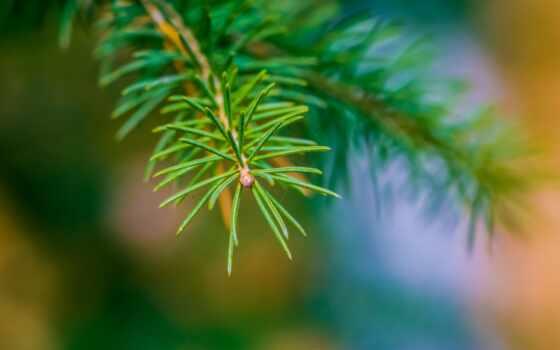 палуба, fir, branch, макро, елка, главное, природа, москва, кремль, news