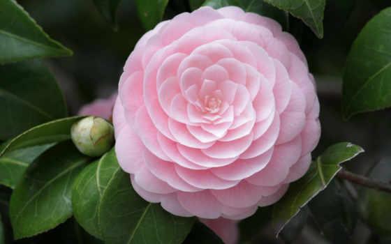 cvety, красивые, цветок, makro, розовый, камелия, только, заставки,