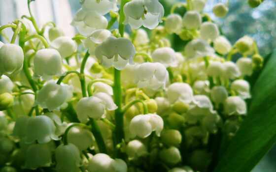 весна, цветы, ландыши