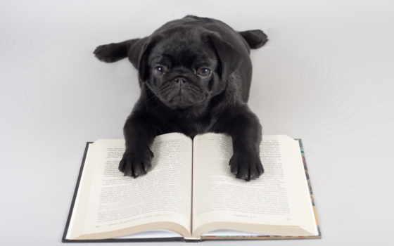 мопс, reading, мопс, puzzle, czarny, które, ipad, tapety,