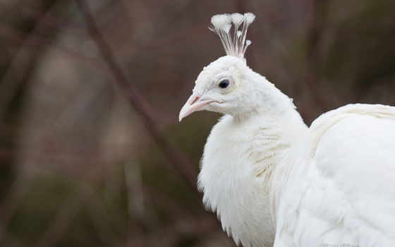 птица, peacock, white, клюв, crest, птиц, белая, павлины, preview, обитания,