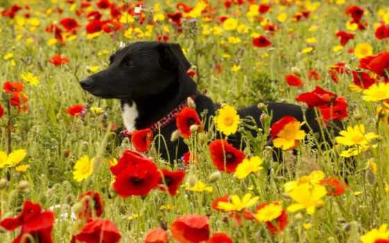 собака, cvety, yellow, flowers, луг, poppy, картинка, android