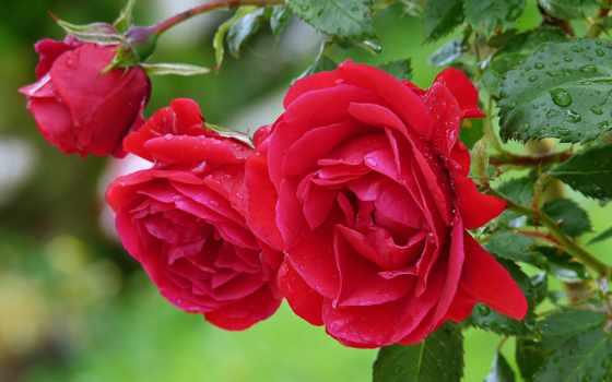цветы, роза, red, cvety, взлёт, листва, розовый, drop, тюльпан