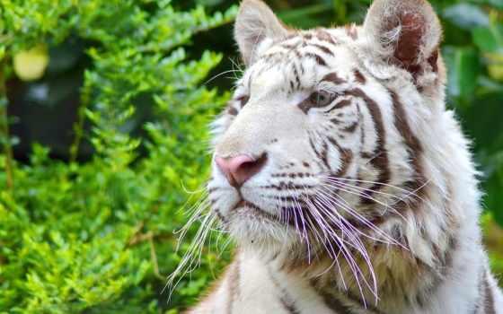тигр, белый Фон № 19373 разрешение 1920x1283