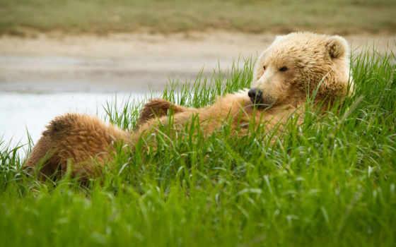 медведь, гризли, медведи