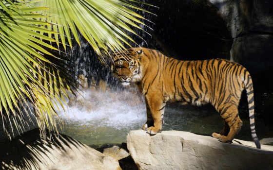 тигр, водопад, хищник