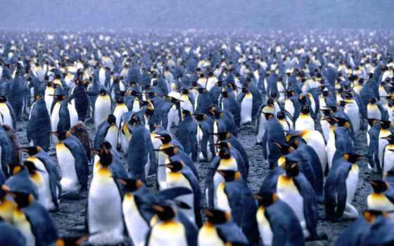 пингвины, pingvin, императорский