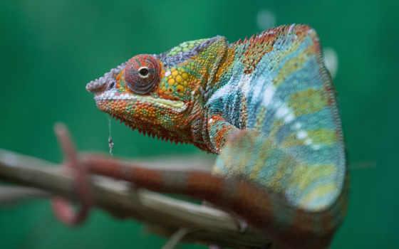 chameleon, línea, animals, closeup, дома, zhivotnye,