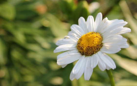 макро, ромашка, summer, white, лепестки, цветы, cvety, fleur,